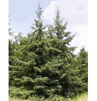 White Canadian spruce (Picea glauca)
