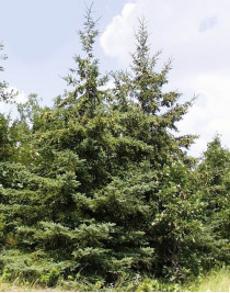 Ель белая канадская (Picea glauca)