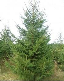 Serbian spruce (Picea omorica)