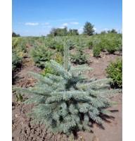 Ялина колюча Глаука (Picea pungens Glauca)
