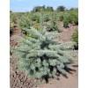 Ель колючая Глаука (Picea pungens Glauca)