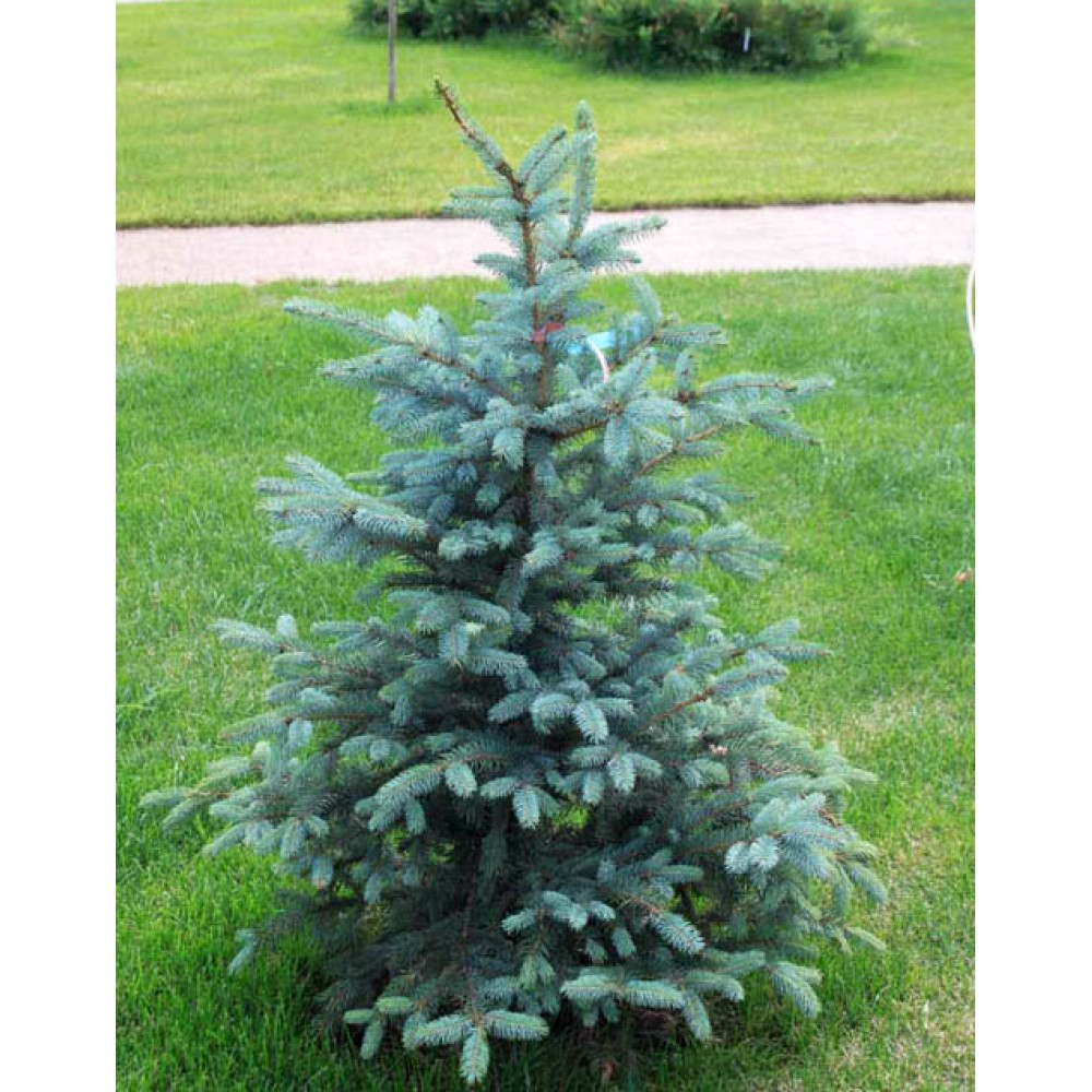 Colorado spruce Keibab, container 2l