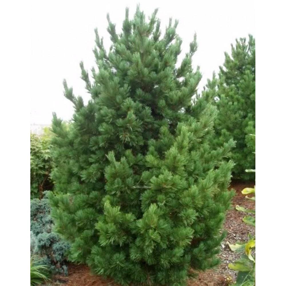 Сосна кедровая европейская (Pinus cembra)