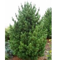 Сосна кедрова європейська (Pinus cembra)
