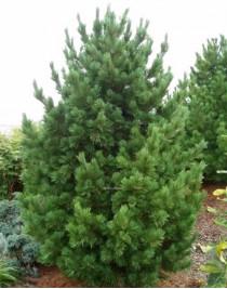 European cedar pine (Pinus cembra)