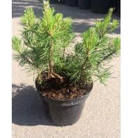 Сосна гірська (Pinus mugo)