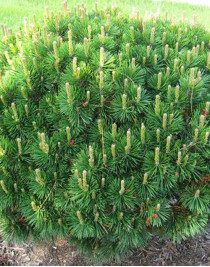 Mountain pine Mugus