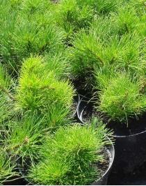 Crimean pine, container 2l