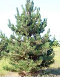 Crimean pine, 70-100 cm, cont. 45L