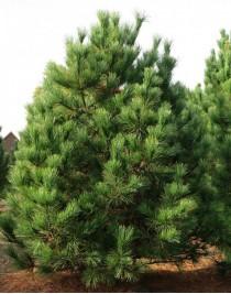 Rumelian pine (Pinus peuce)