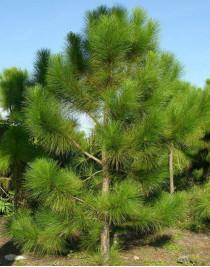 Pine yellow (Pinus ponderosa)
