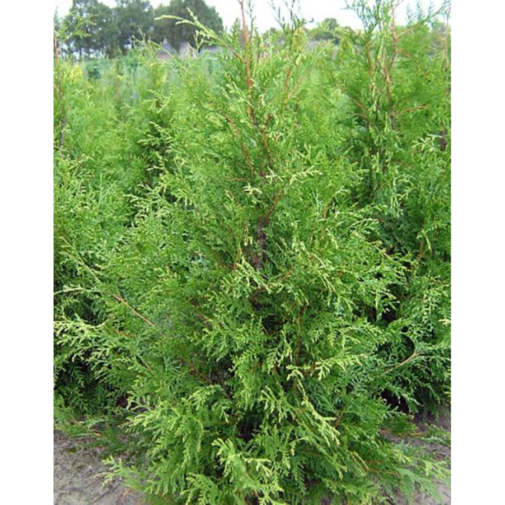 Thuja West Friesland, container 7,5l