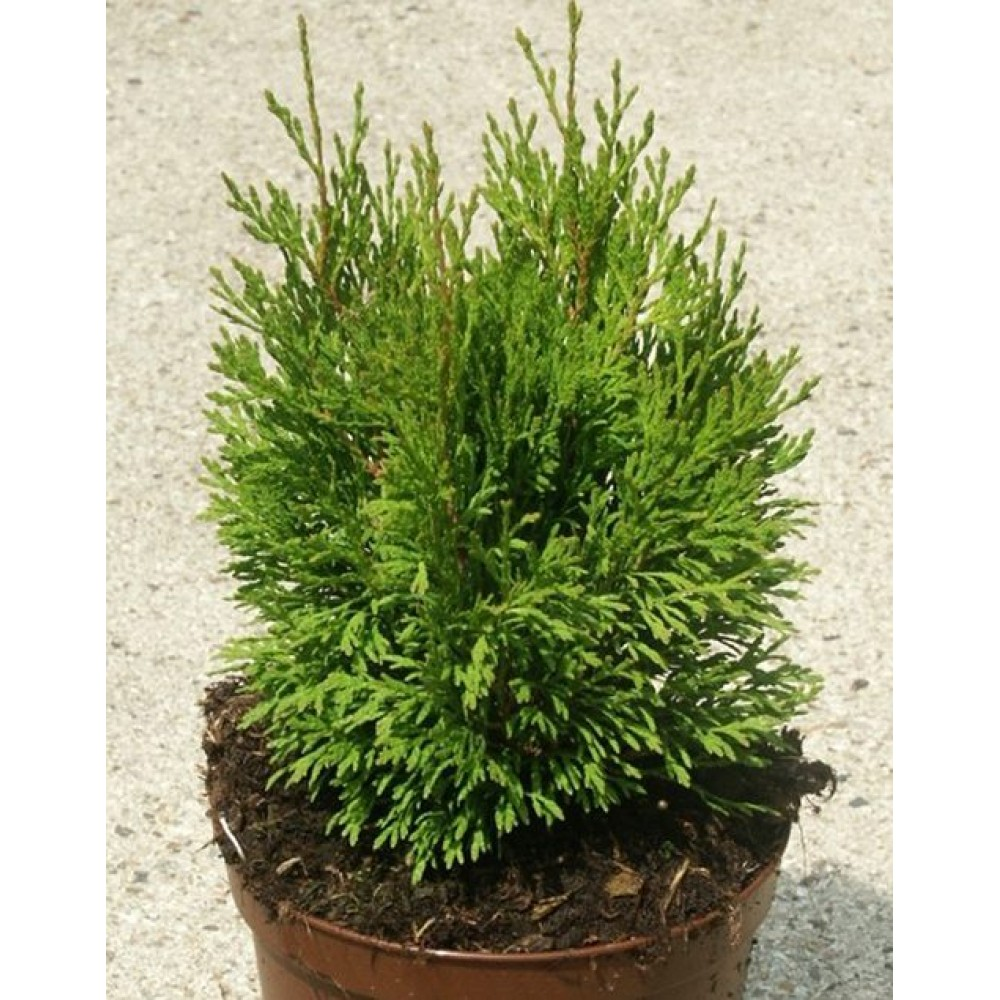Thuja western Miky, container P9, 3L