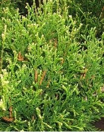 Thuja folded Elegantissima, container 3l