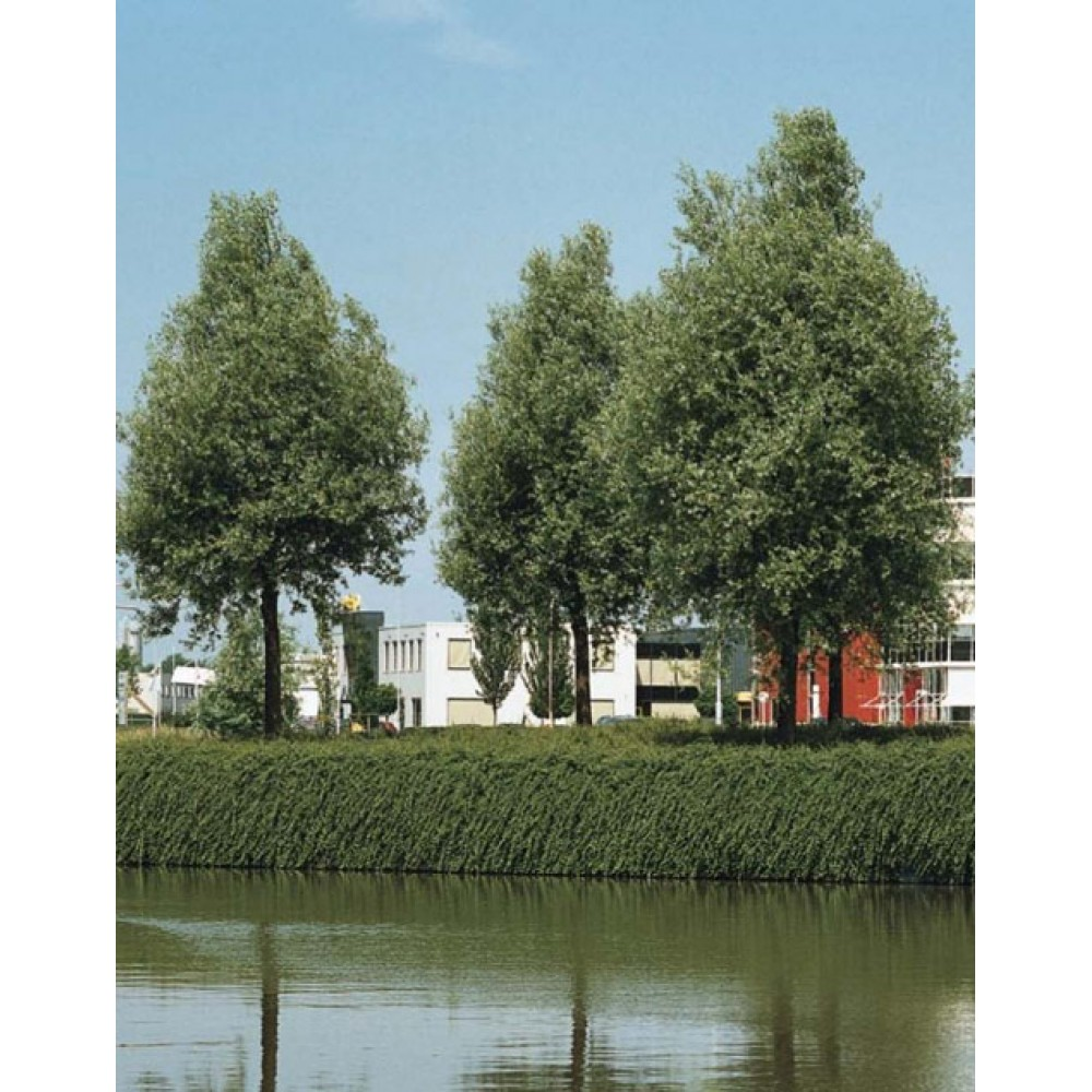 Willow white Liempde, container 25l