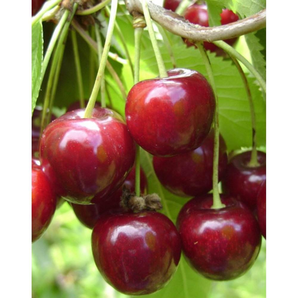 Cherry Molodezhnaya, self-fertile variety, cont. 15L