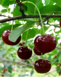 Cherry Podbelsky, open. root, container 15l