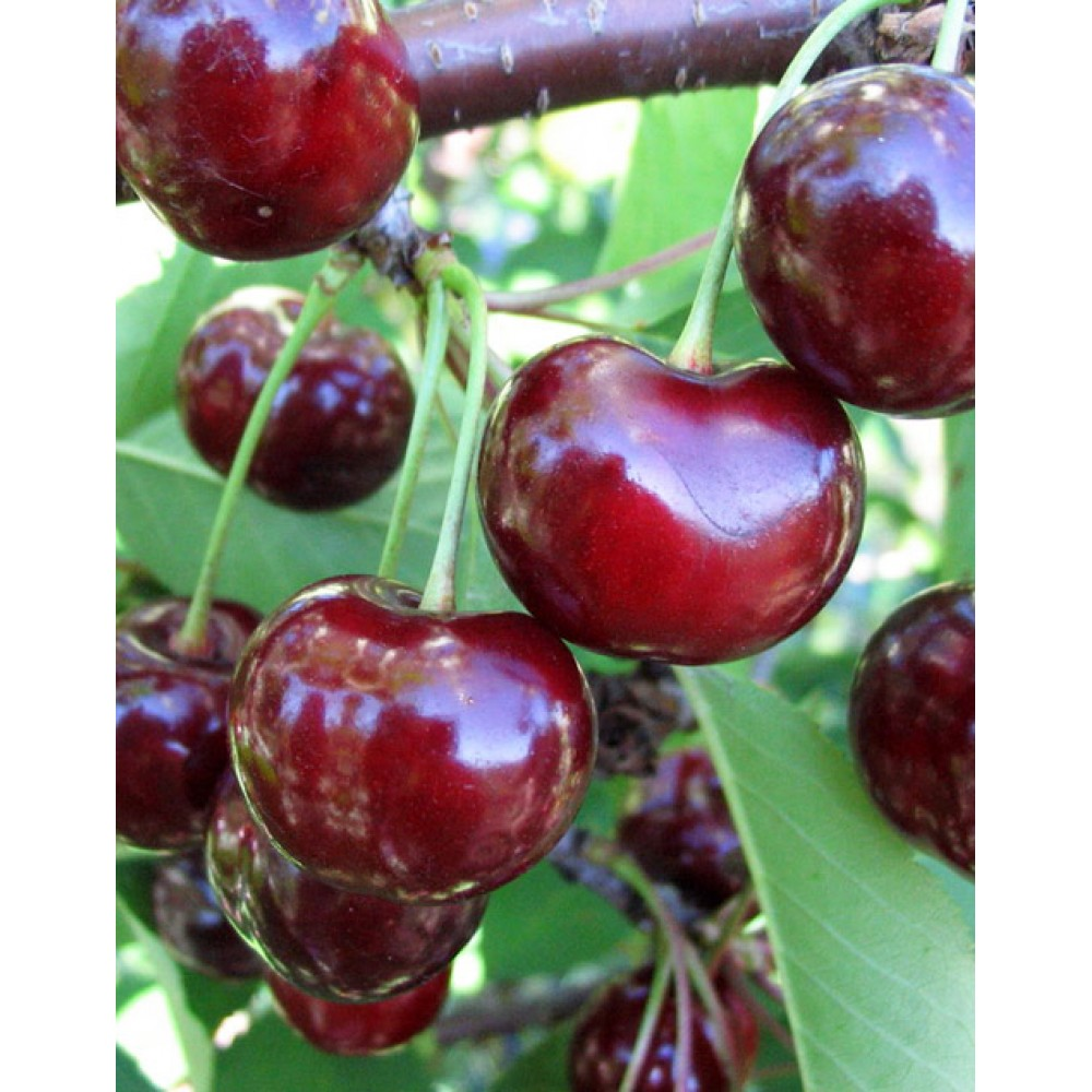 Cherry Perceptible, container 15l