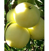 Apple-tree White filling, summer, open root, cont. 15L