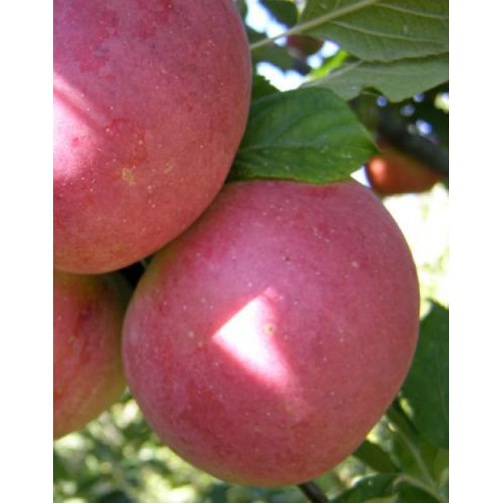 Яблуня Делічія, осіння, відкритий корінь, конт. 15л