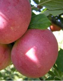 Delicia apple tree, autumn, open root, cont. 15L
