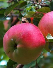 Apple-tree Eliza, winter, container 15l