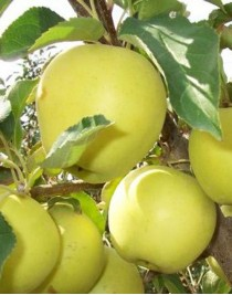 Apple-tree Golden Delicious, winter, container 15L