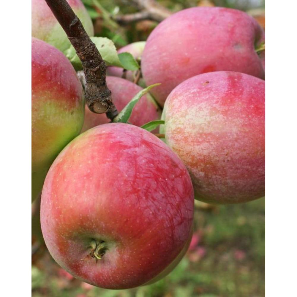 Apple tree Count Ezzo, winter, open root, cont. 15L