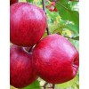 Apple-tree Cameo, winter, container 15l