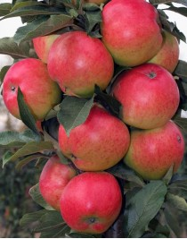 Apple-tree Columnar autumn, open. root, container 15l