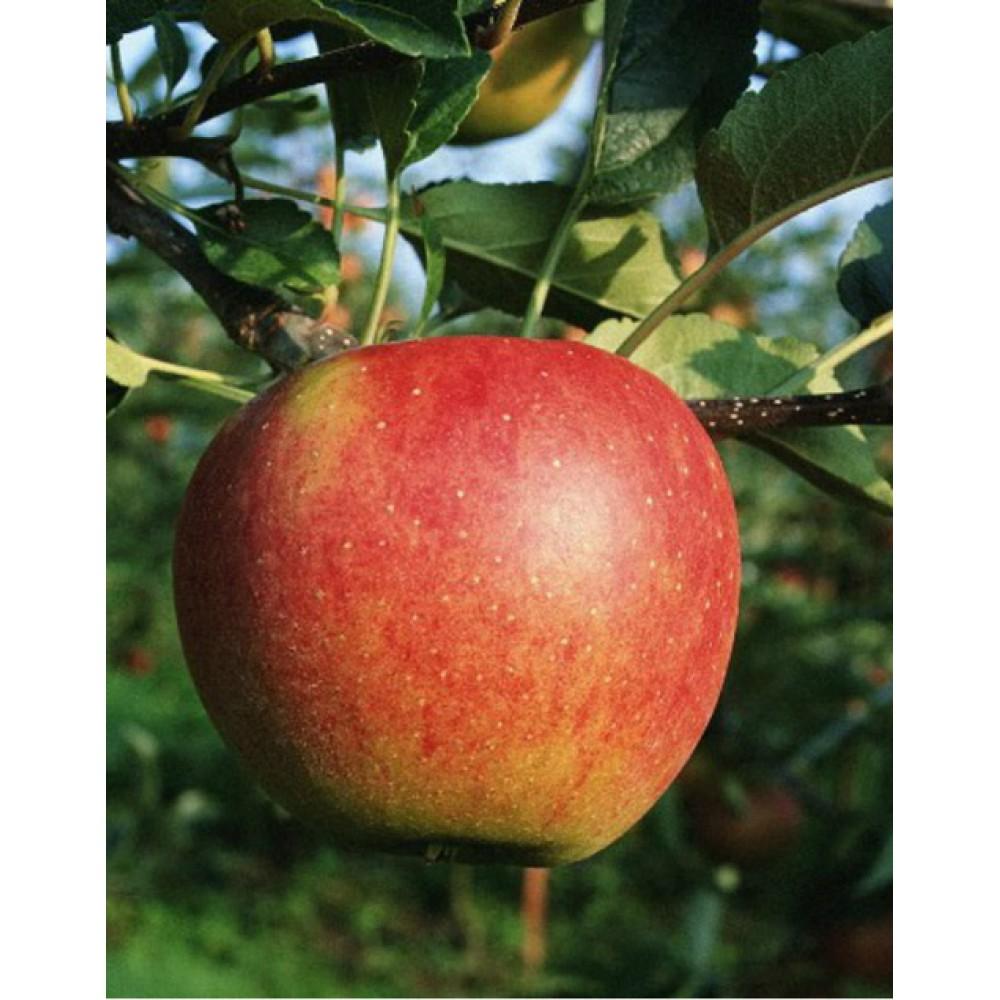 Apple tree Kortland, late autumn, container 15L