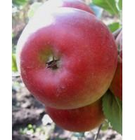 Apple-tree Raika, winter, container 15l