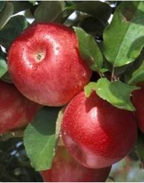 Apple-tree Rubin Star, winter, container 15l