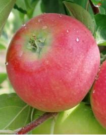 Apple tree Geneva Earley, summer, open root