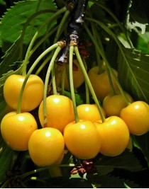 Drogan yellow sweet cherry, container 15l
