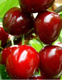 Cherry Large-fruited, container 15l