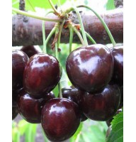 Sweet cherry Melitopol early, open root