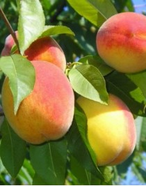 Donetsk yellow peach, self-fertile, cont. 15L