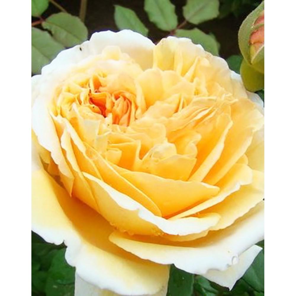 Роза англійська плетистая Перпешуалі Йорс