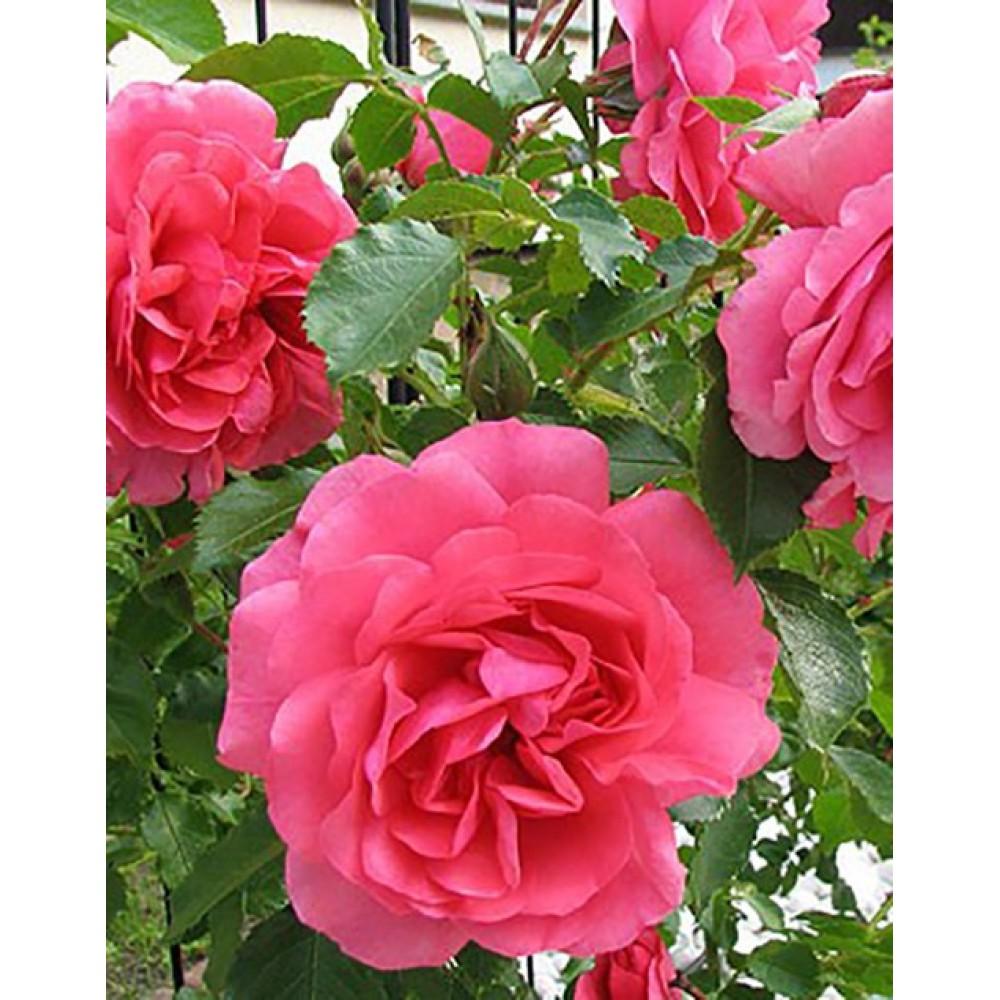 Роза паркова Розаріум Уетерзейн