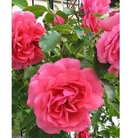 Rose Park Wethersein Rosarium