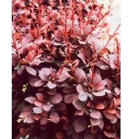 Барбарис Тунберга Атропурпуреа (Atropurpurea)