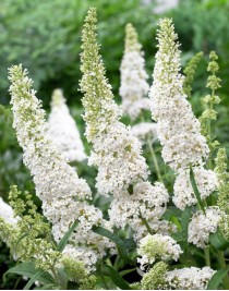 Buddleya David White Profusion, container 2L