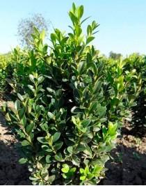 Буксус, Самшит вечнозеленый (Buxus sempervirens)