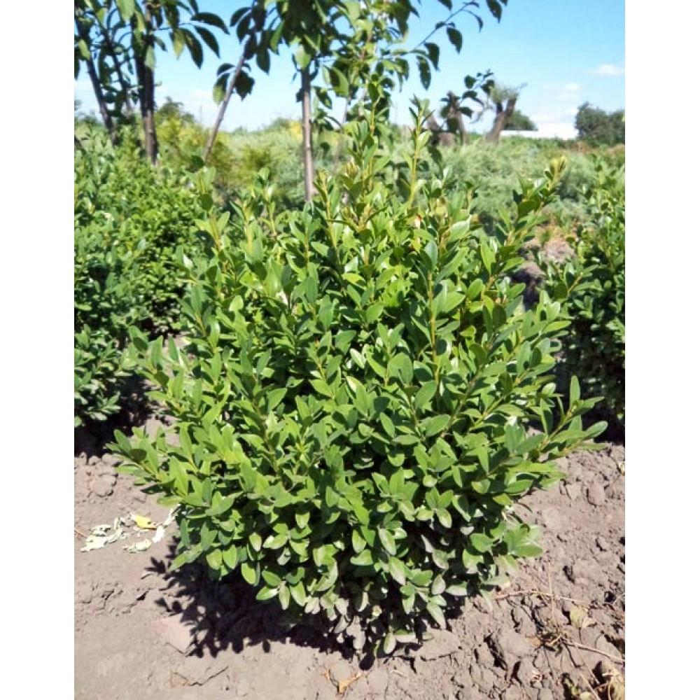 Буксус, Самшит вічнозелений (Buxus sempervirens)