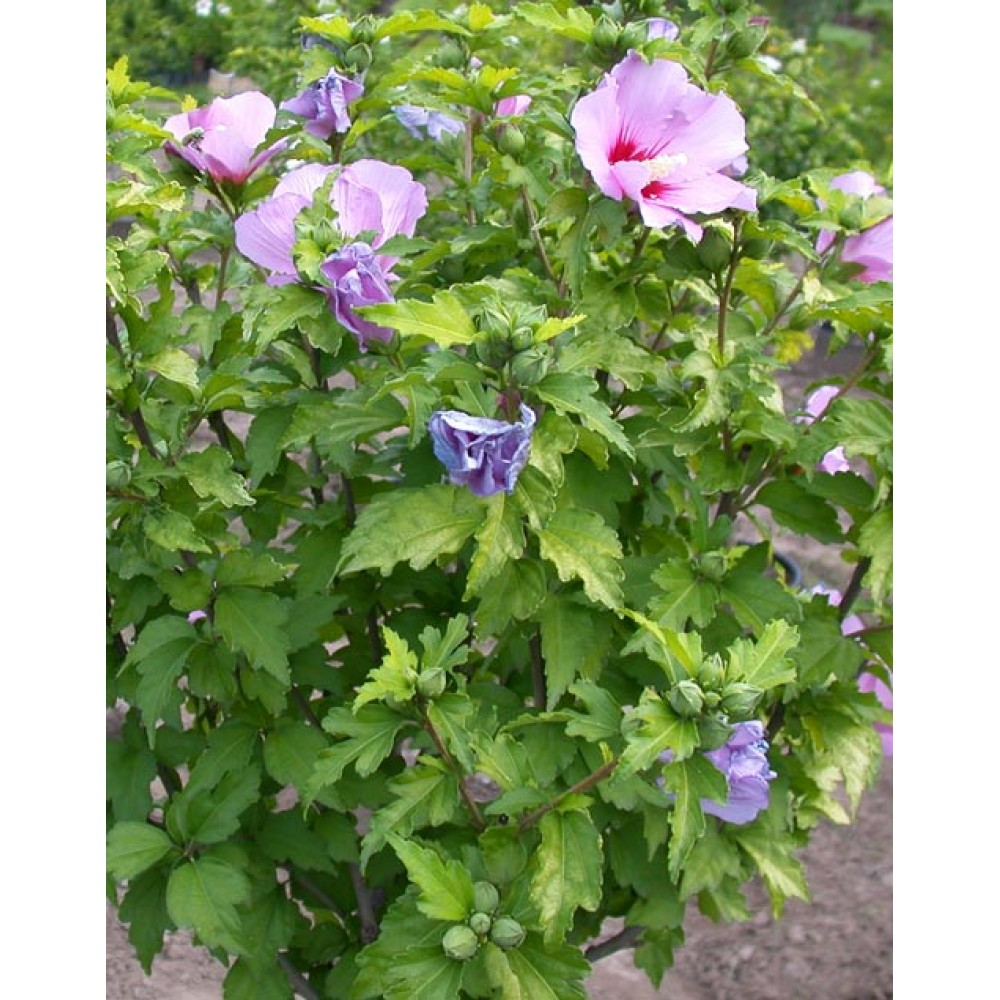 Syrian hibiscus, Syrian rose, cont. 4L, 10L