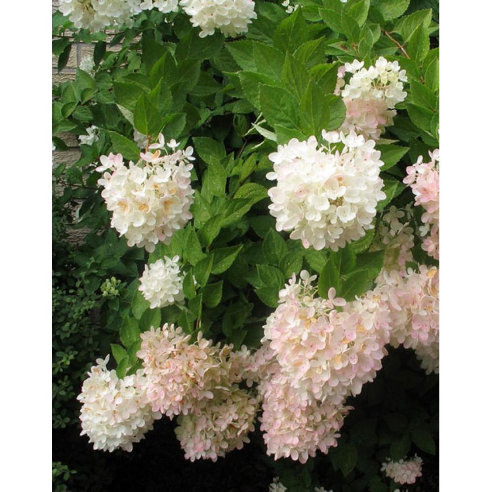Hydrangea paniculata Grandiflora, container 1l