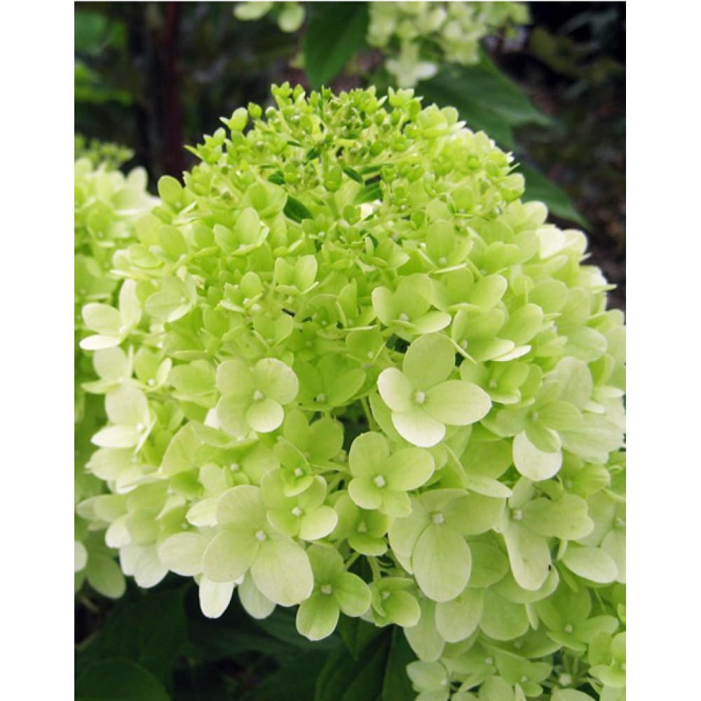 Hydrangea paniculata Limelight, container 1l