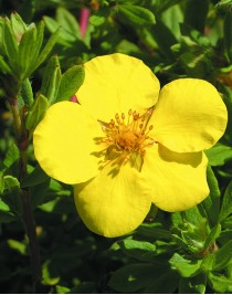 Cinquefoil shrub Gold Star