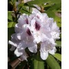 Rhododendron hybrid Kalsap (Calsap)